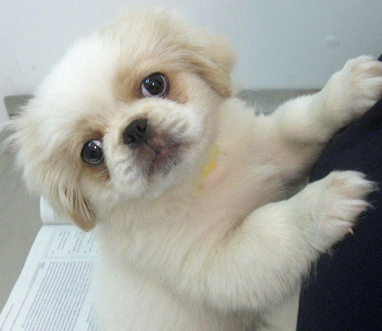 Pekingese Puppies For Sale In Sc