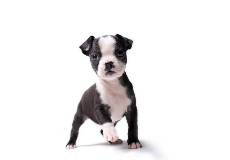 Pictures Of Boston Terrier Puppies For Sale