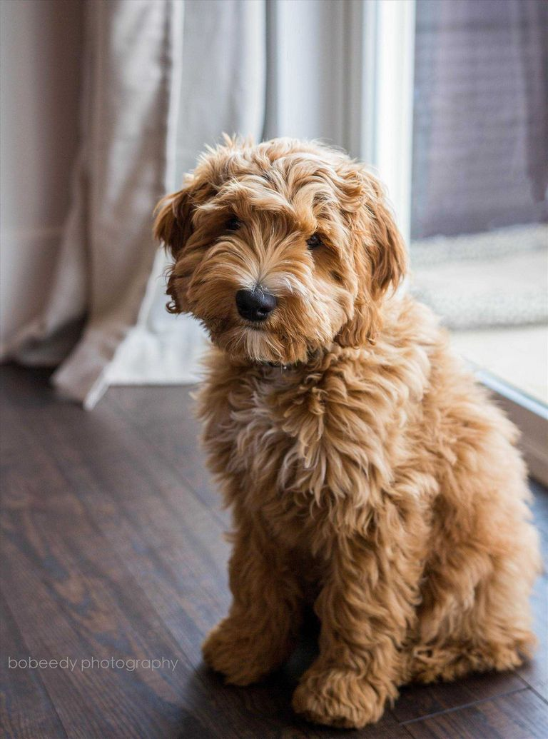 Pictures Of Havanese Puppies For Sale