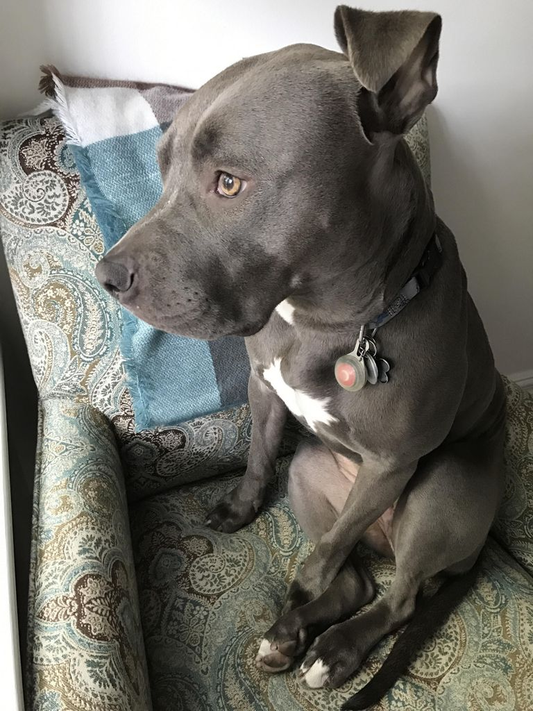 Pitbull Puppies For Sale In Michigan Craigslist | Top Dog ...