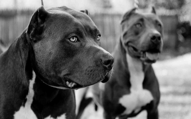 Pitbull Puppies Rochester Ny | Top Dog Information
