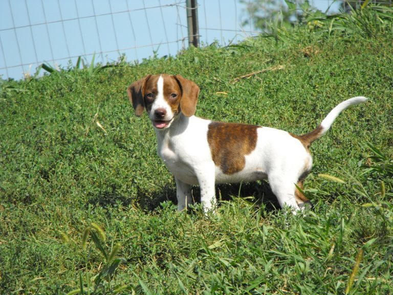 Pocket Beagle Puppies For Sale In Iowa