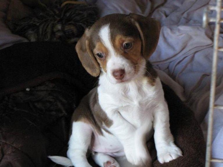 Pocket Beagles For Sale In Tn