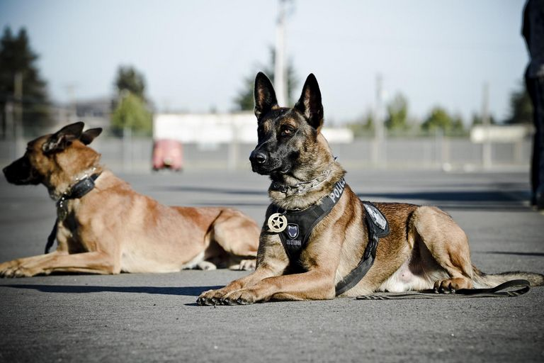 Police Trained Belgian Malinois For Sale