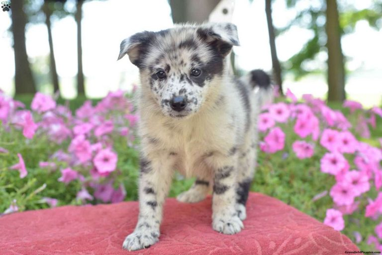 Pomeranian Puppies For Sale In Utah