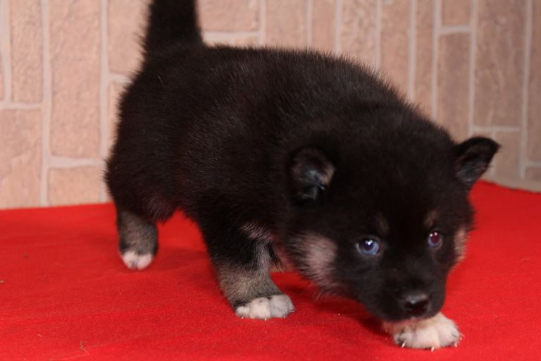Pomsky Puppies For Sale In Indiana