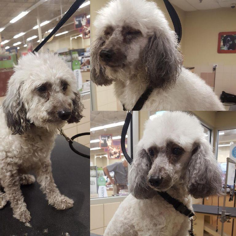 Poochon Puppies For Sale Florida