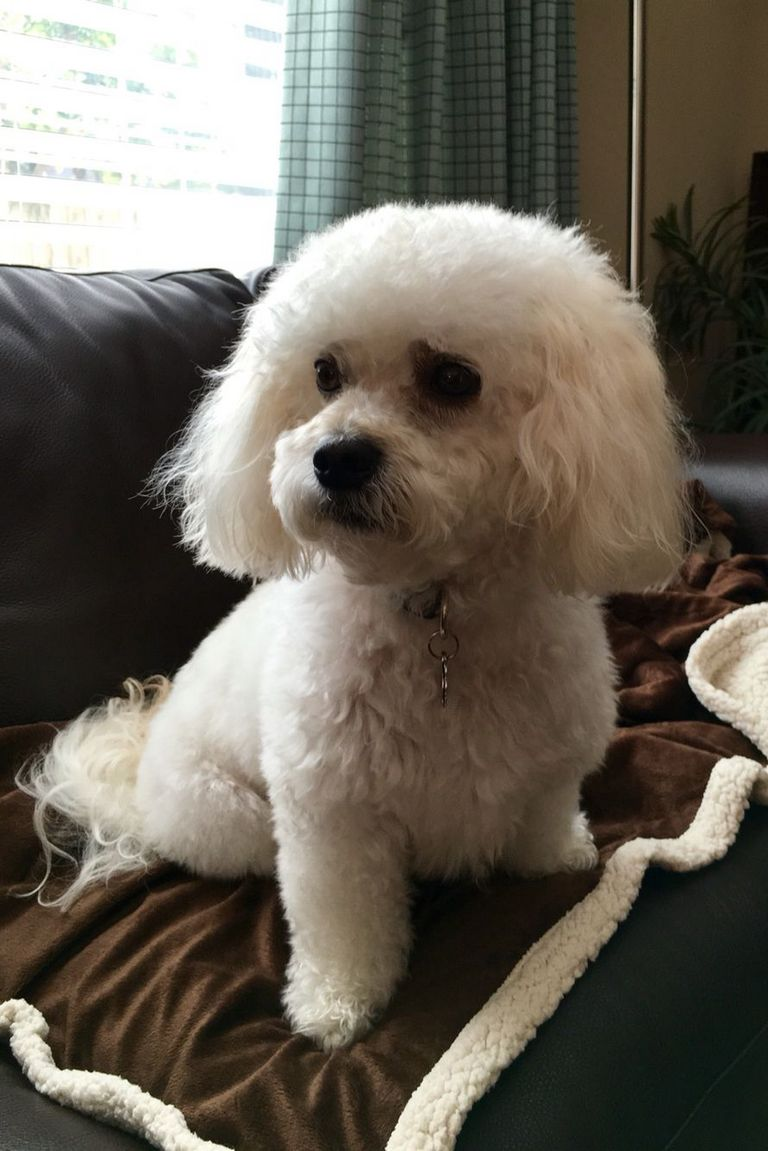Poochon Puppies For Sale Indiana