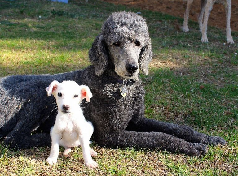 Poodle Mixes For Sale Mn