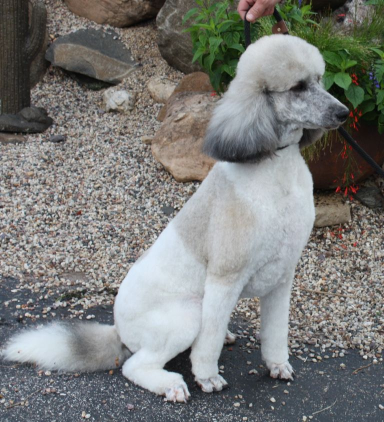 Poodle Pointer Puppies For Sale
