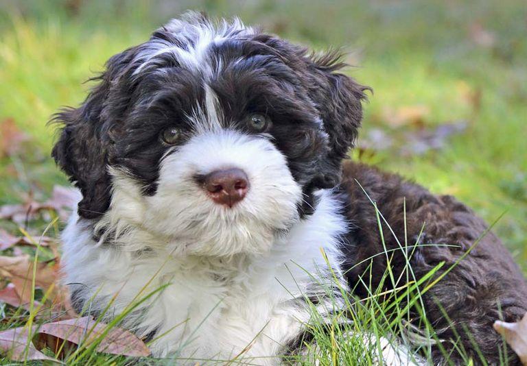Portuguese Water Dog Breeders Ma