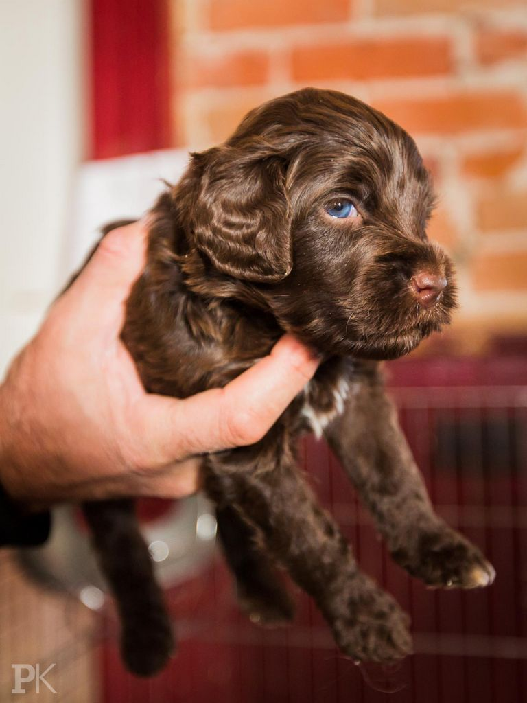 Portuguese Water Dog For Sale Florida