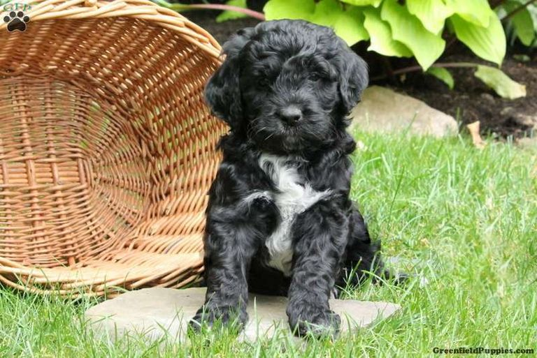 Portuguese Water Dog Poodle Mix For Sale