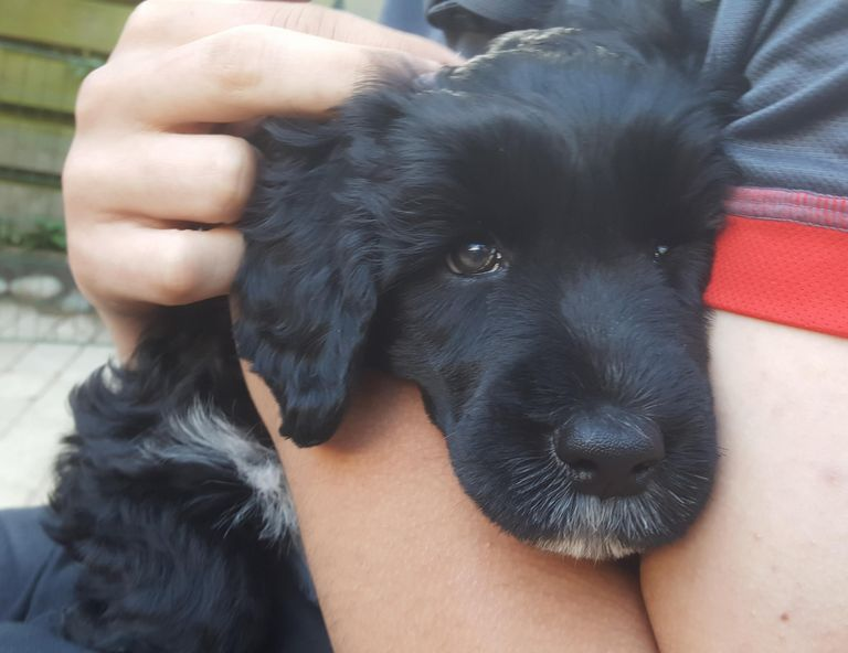 Portuguese Water Dog Puppies Available