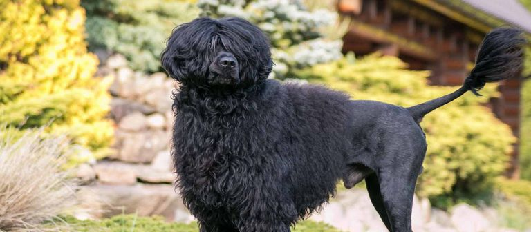 Portuguese Water Dog Puppies Nj