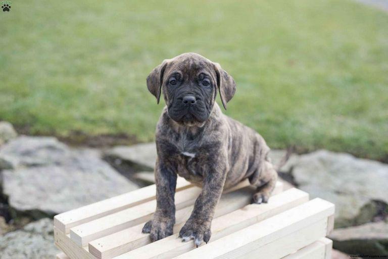 Presa Canario Puppies For Sale In Ohio