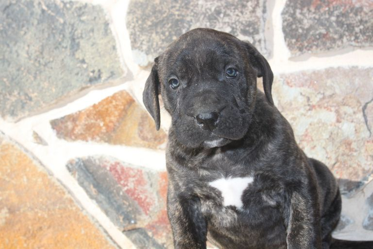 Presa Canario Puppies For Sale In Pa