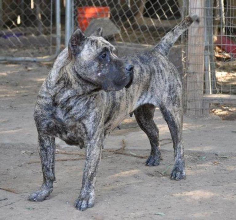 Presa Canario Puppies For Sale In Texas