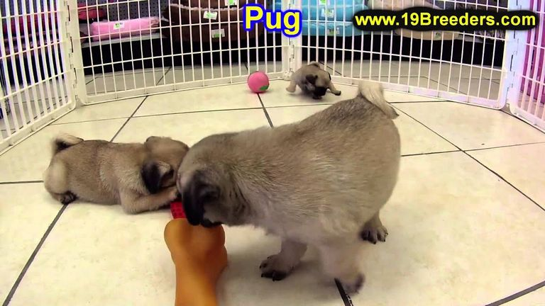 Pug Puppies For Sale In Delaware