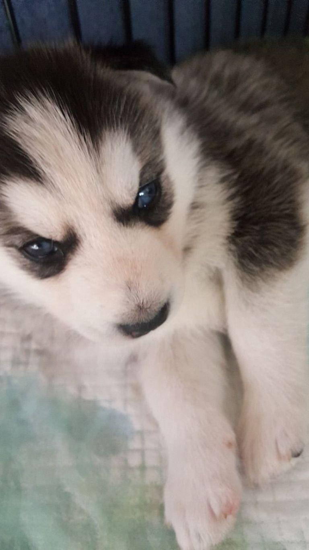 Pug Puppies For Sale In Philadelphia