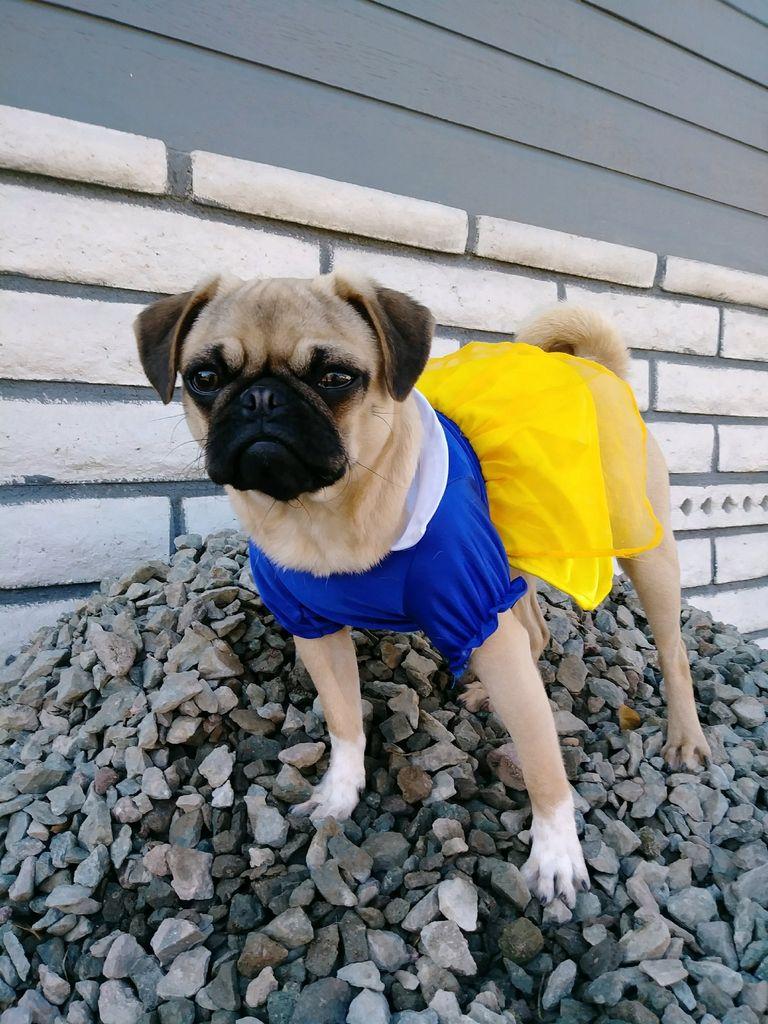 Pug Rescue Delaware