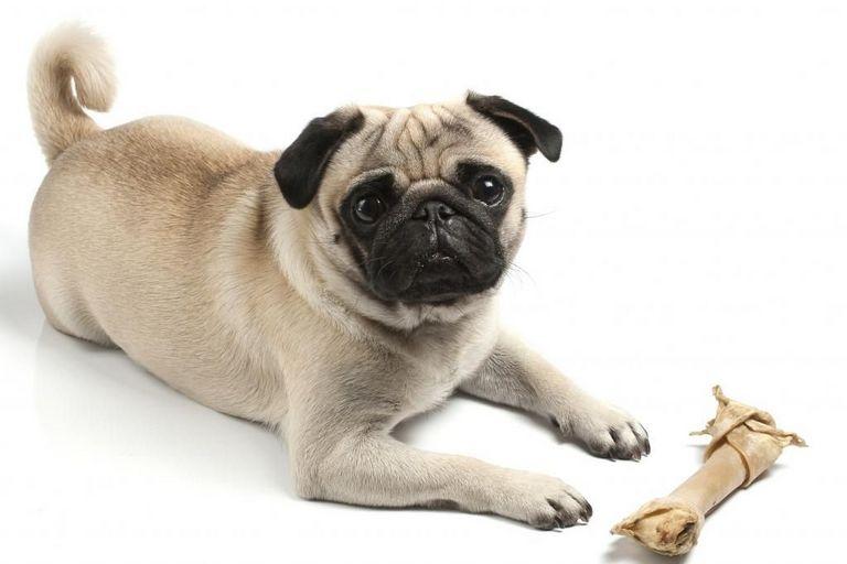 Pug Rescue Rochester Ny