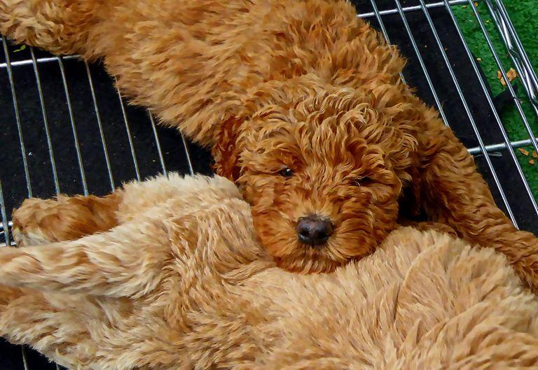 Puppies For Adoption In Las Vegas