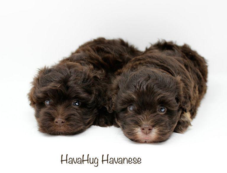 Puppies For Adoption Toledo Ohio