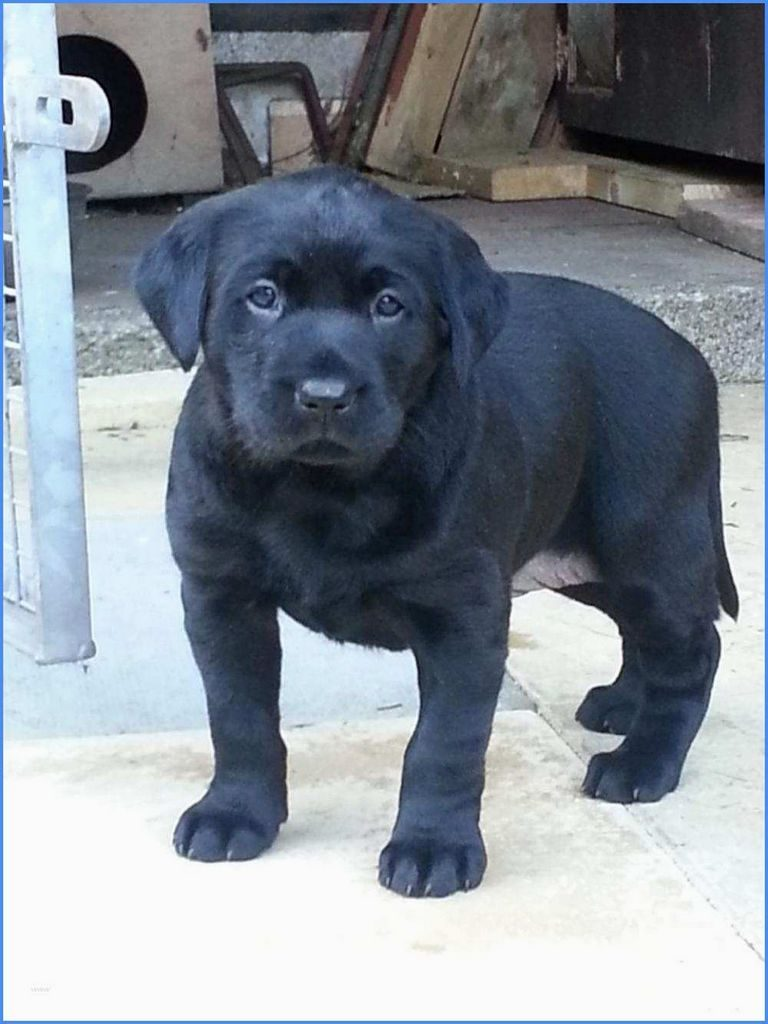 Puppies For Sale Austin Tx