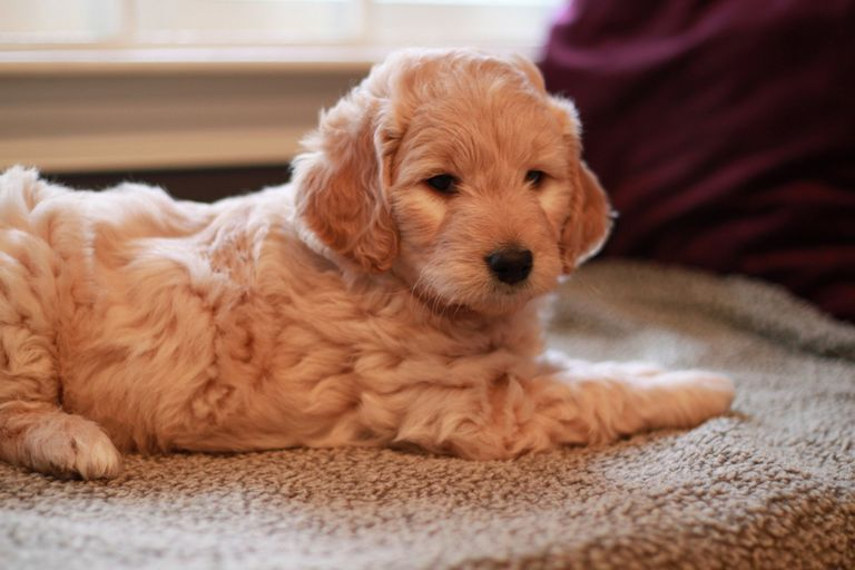 Puppies For Sale In Nj Under 100   Top Dog Information
