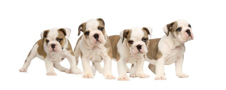Puppies For Sale Jacksonville Fl