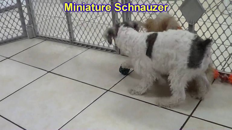 Puppies For Sale Melbourne Fl | Top Dog Information