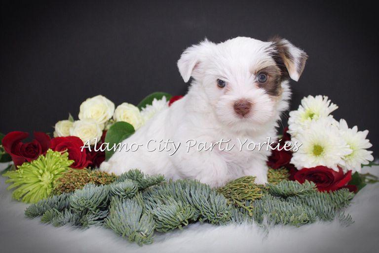 Puppies San Antonio | Top Dog Information