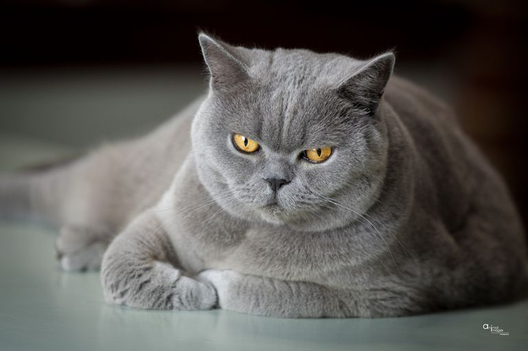 Purebred Cats For Sale Near Me