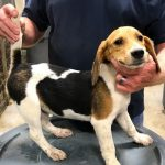 Rabbit Hunting Beagles For Sale Craigslist