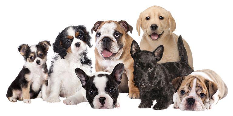 Random Dog Breed Selector
