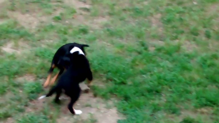 Rat Terrier Puppies Austin Texas