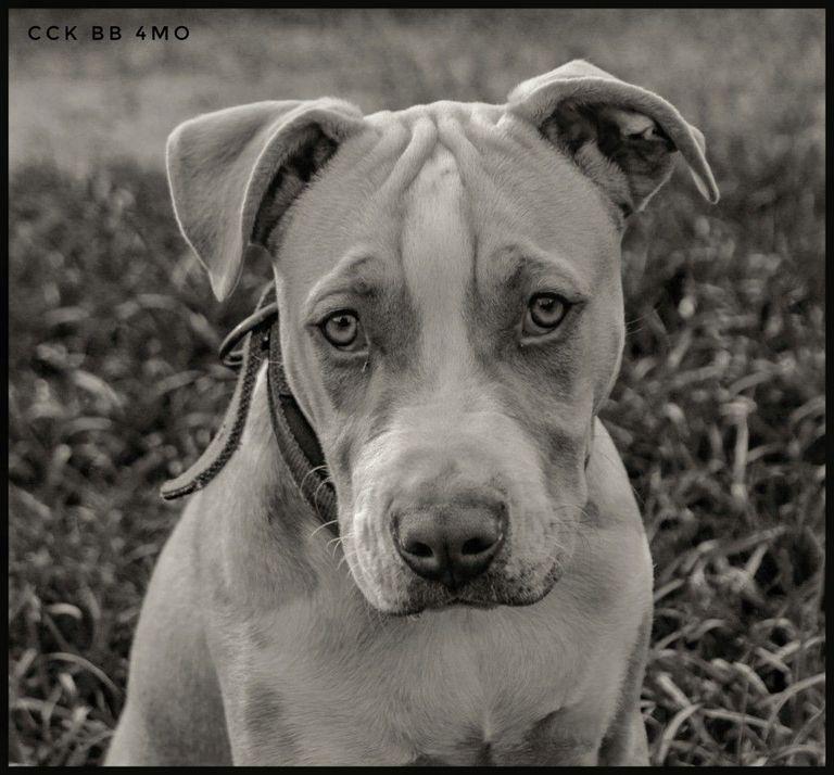 Real American Pitbull Terrier