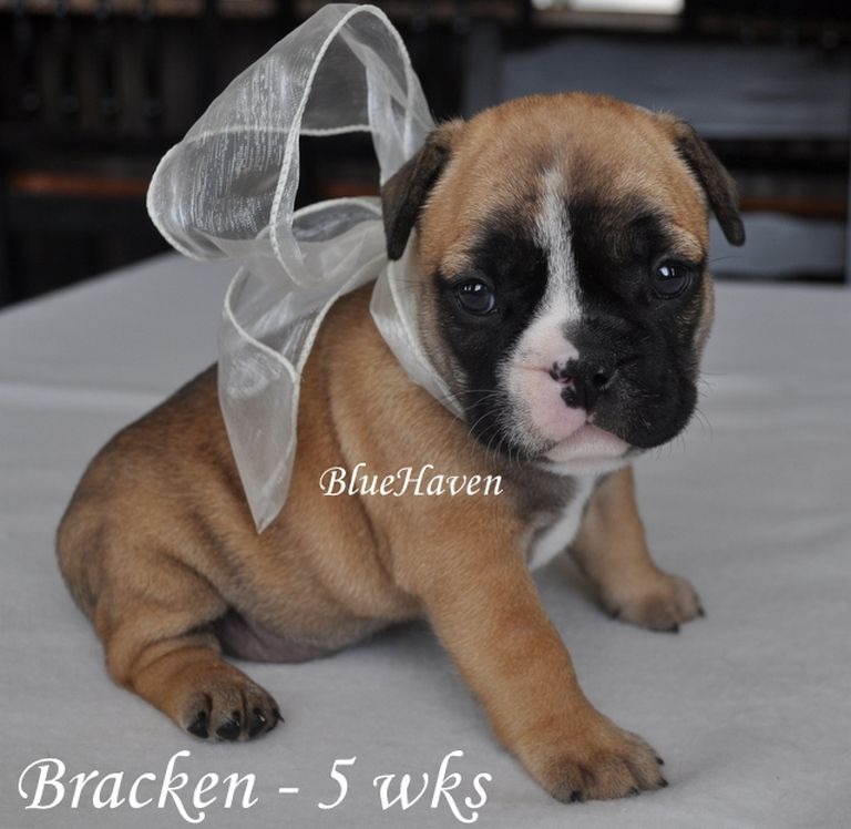 Red Maple French Bulldogs Ct