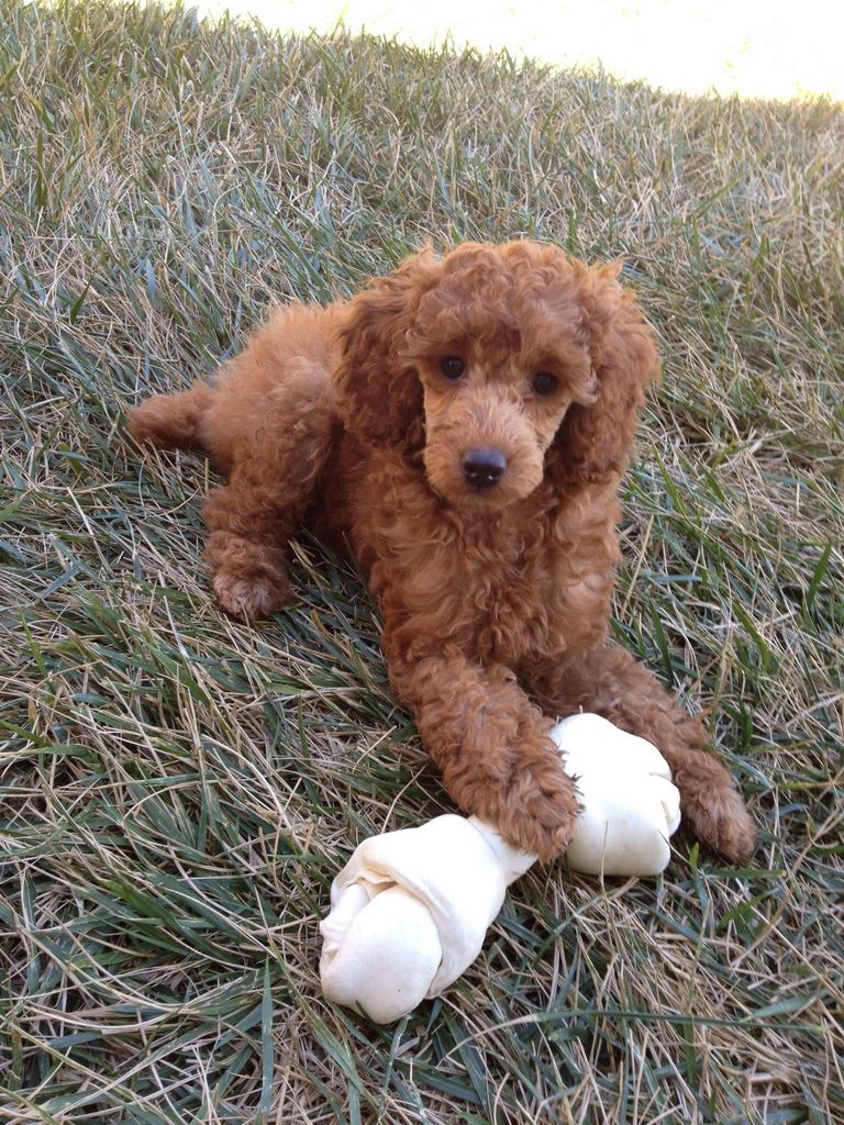 Red Miniature Poodle Puppies For Sale