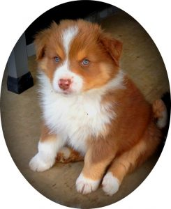 Red Tri Female Mini Aussie For Sale