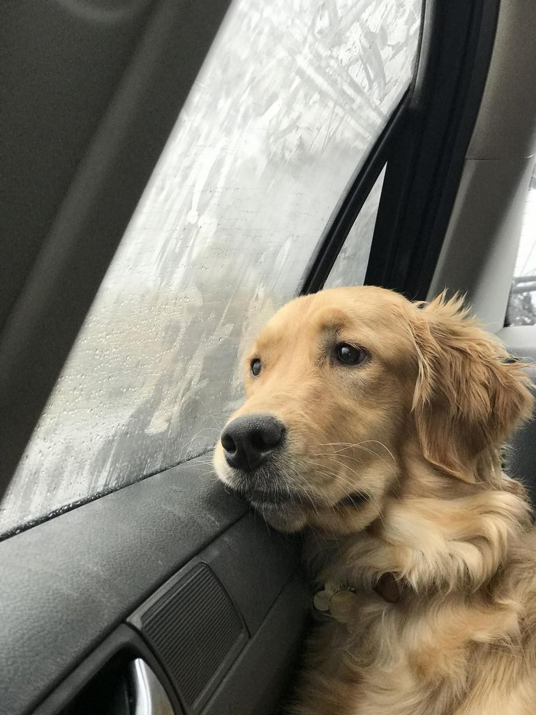 Reputable Golden Retriever Breeders In Pa