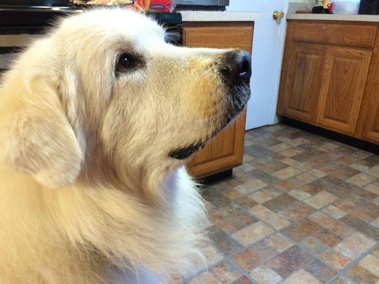 Retired Golden Retrievers For Adoption