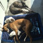 Retired Racing Whippet Adoption