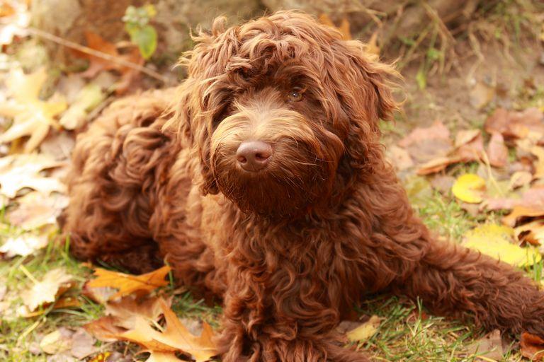 Retired Standard Poodle For Adoption