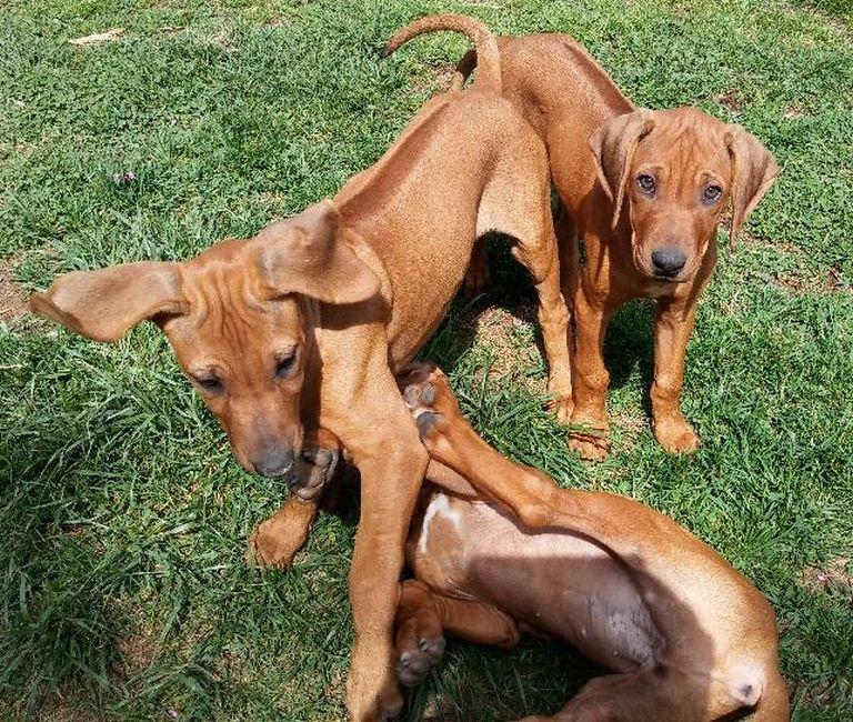 Rhodesian Ridgeback Puppies For Sale Georgia