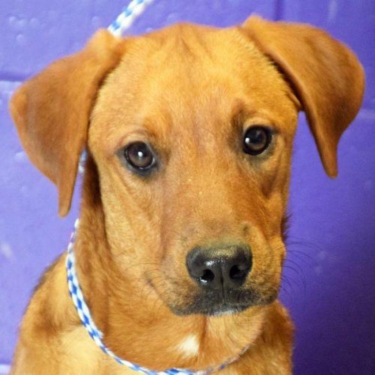 Rhodesian Ridgeback Rescue Puppies Sale