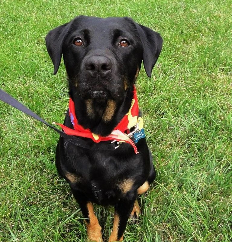 Rottweiler Puppies For Sale In Hickory Nc