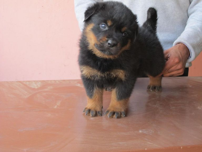Rottweiler Puppies For Sale In Macon Ga