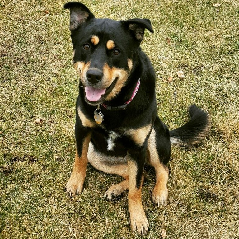 Rottweiler Puppies For Sale In Nc Craigslist | Top Dog Information